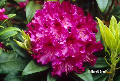 Rhododendron 'Sefton' | Rhododendrons (Hybrids & species)