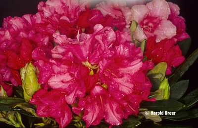 Rhododendron 'Sweet Sue'   Rhododendrons (Hybrids & species)