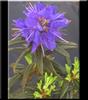 Rhododendron 'Gletschernacht' ('Starry Night')   Rhododendrons (Hybrids & species)