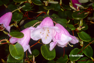 Rhododendron williamsianum | Rhododendrons (Hybrids & species)
