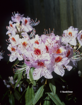Rhododendron yunnanense   Rhododendrons (Hybrids & species)