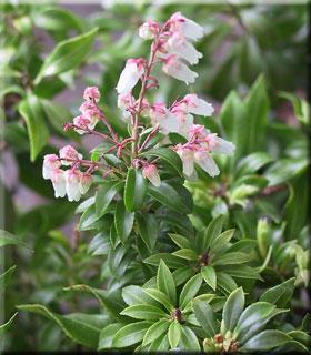 Pieris japonica 'Brookside Miniature'