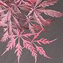 Acer palmatum dissectum 'Tamuke yama'