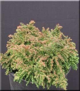 Cryptomeria japonica 'Ryokogu coyokyu'