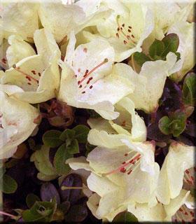 Image Rhododendron 'Wren'
