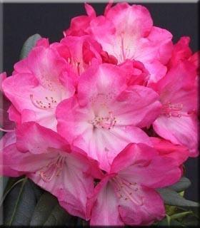 Image Rhododendron 'Fantastica'