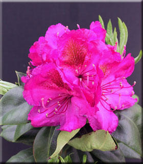 Image Rhododendron 'Royal Purple'
