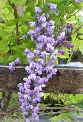 Image Wisteria floribunda 'Violacea Plena'