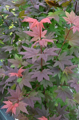 Acer circinatum 'Burgundy Jewel'