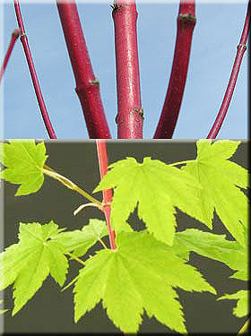 Acer circinatum 'Pacific Fire'