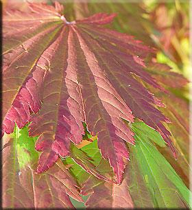 Acer japonicum 'Yama kagi'