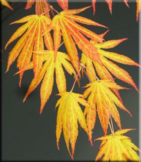 Acer palmatum 'Killarney'