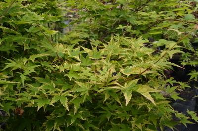 Acer palmatum 'Sagara nishiki'