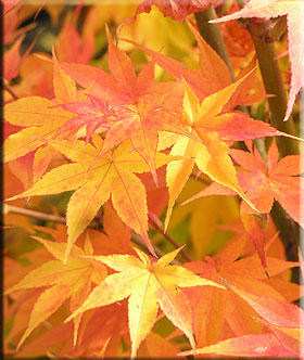 Image Acer palmatum 'Winter Flame'