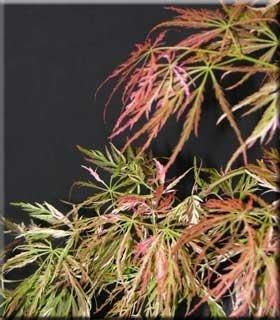 Acer palmatum dissectum 'Toyama nishiki'
