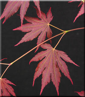 Image Acer shirasawanum 'Johin'