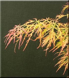 Acer palmatum dissectum 'Otto's Dissectum'