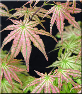 Image Acer palmatum 'Peaches and Cream'