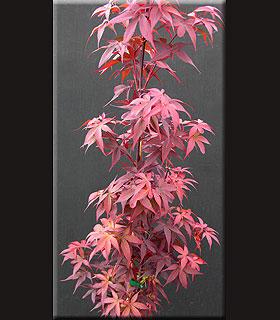 Acer palmatum 'Twombley Scarlet Sentinel'