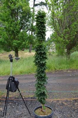 Acer platanoides 'Rezek'