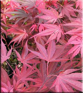 Acer shirasawanum 'Red Dawn'