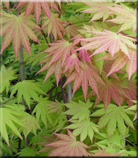 Acer shirasawanum 'Autumn Moon
