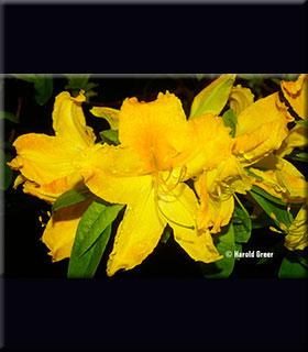 Image Azalea 'Arneson Golden Solitaire'