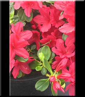 Azalea 'Hino Crimson'