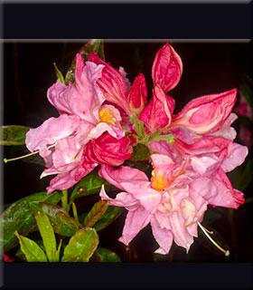 Azalea 'Cascade Pink'
