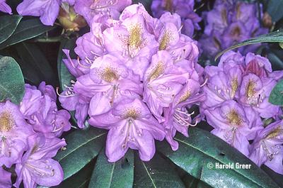 Rhododendron 'Blutopia'