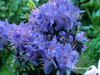 Image Rhododendron 'Bob's Blue'