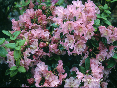 Image Rhododendron 'Brickdust'