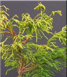 Chamaecyparis obtusa 'Golden Whorl'