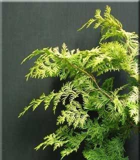 Chamaecyparis obtusa 'Crippsii'
