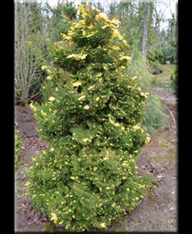 Image Chamaecyparis obtusa 'Saffron Spray'