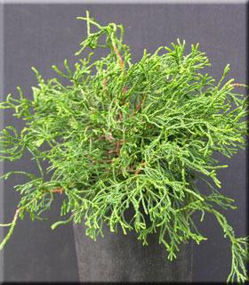 Chamaecyparis obtusa 'Torulosa Dwarf'