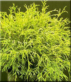 Image Chamaecyparis pisifera filifera 'Golden Mops'