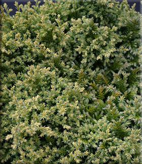 Chamaecyparis pisifera 'Plumosa Compressa Aurea'