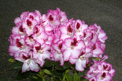 Image Rhododendron 'Cherry Cheesecake'
