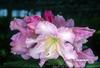 Rhododendron 'Compacta'