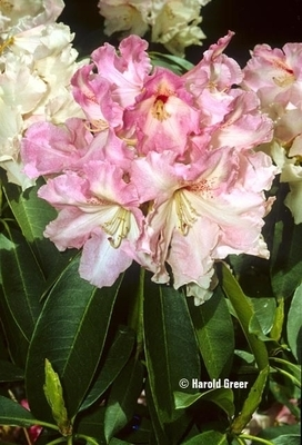 Rhododendron 'Cotton Candy'