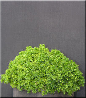 Cryptomeria japonica 'Tenzan yatsubusa'
