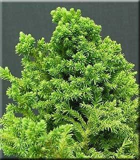 Cryptomeria japonica 'Bandai sugi'