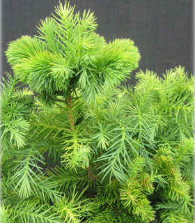 Cryptomeria japonica 'Kilmacurragh'