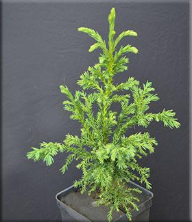 Cryptomeria japonica 'Monstrosa'