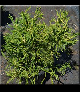 Cryptomeria japonica 'Spiraliter Falcata'