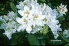 Image Rhododendron 'Cunningham's White'