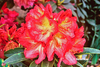 Image Rhododendron 'Dad's Indian Summer'