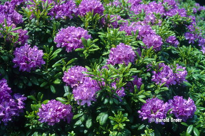 Image Rhododendron 'Daphnoides'