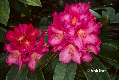 Rhododendron 'Denali'